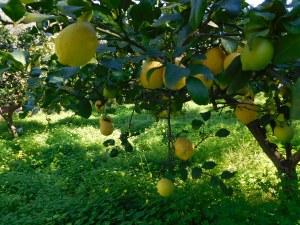 limoni_sicilia